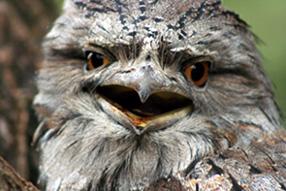 Tawny Frogmouth 'scarey'
