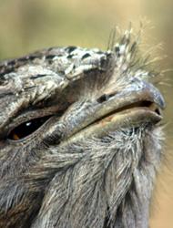 Tawny Frogmouth 'brush'