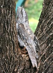 Tawny Frogmouth 'hiding'
