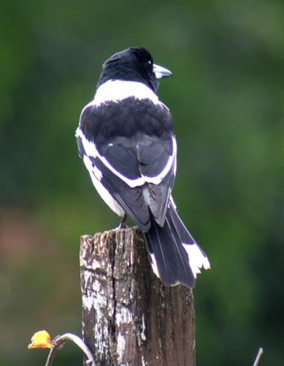 Butcherbird 3