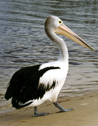Pelican Waddle