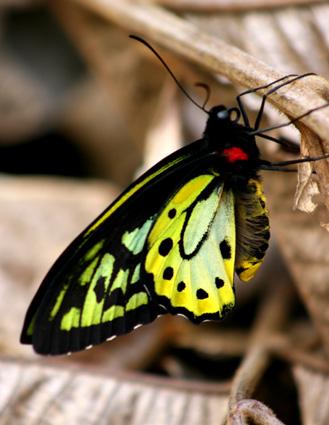 Richmond Birdwing Butterfly1