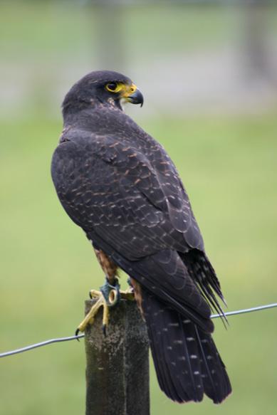 NZ Falcon 1