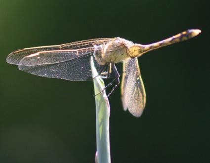 GardenDragonfly