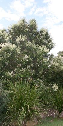 Ivory Curl Flower Tree 1