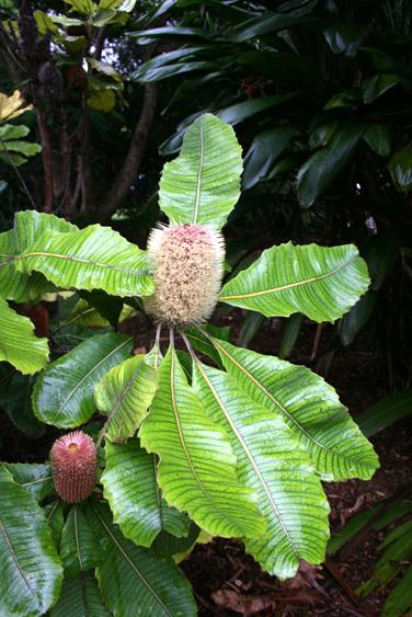 Banksia robur 1