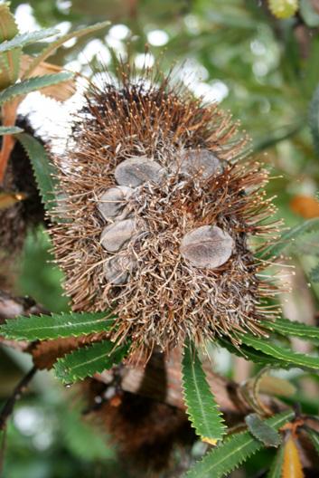 Banksia serrata seedpod 1