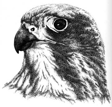 New Zealand Falcon Illistration1