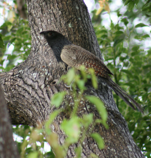 Pheasant coucal 1