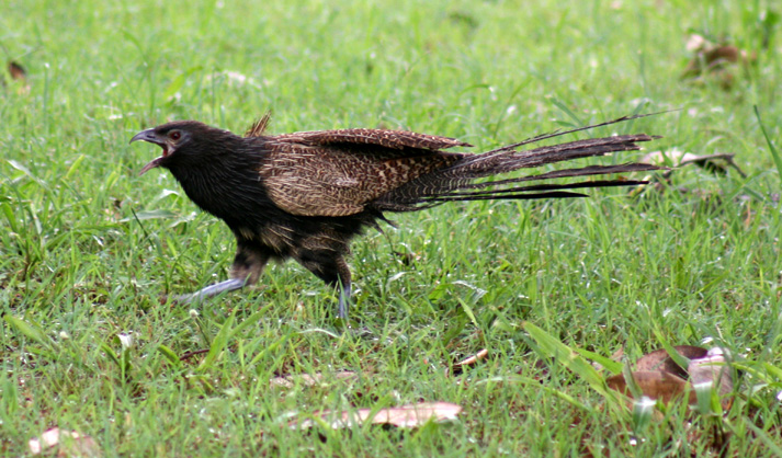 Pheasant coucal 5