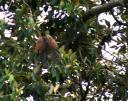 Pheasant Coucal 6