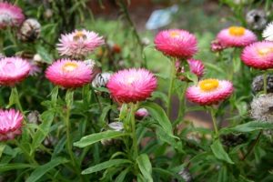 Strawflowers 3