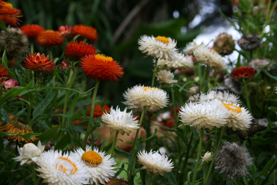 Strawflowers 1