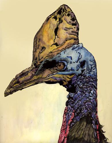 Cassowary Illustration