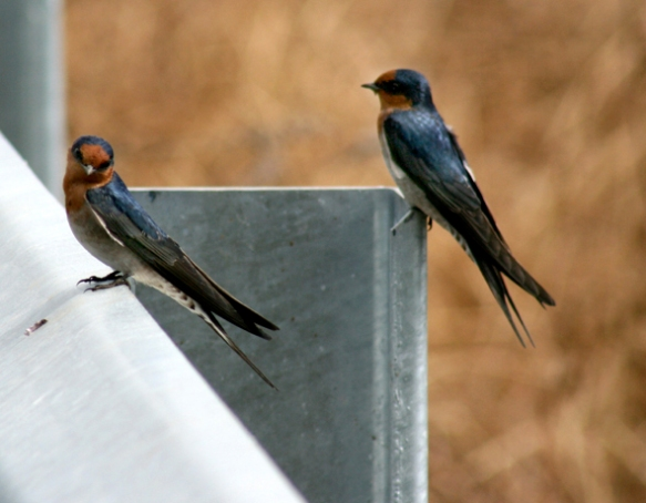 Welcome Swallows 1