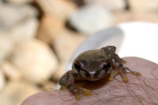 Tiny Brown Frog 4