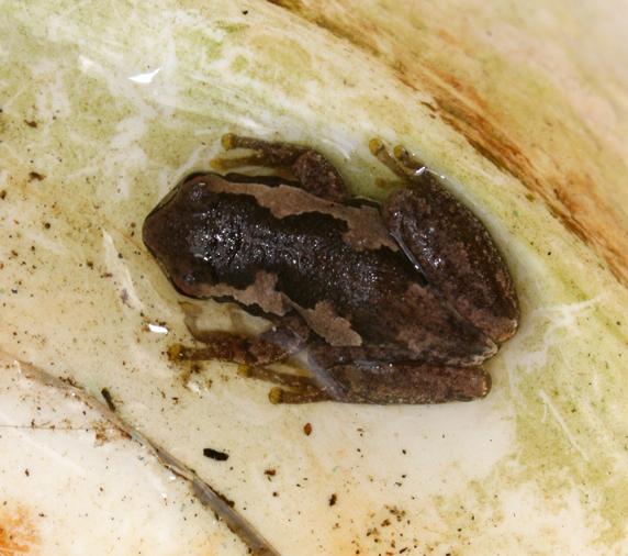 Tiny Brown Frog 1