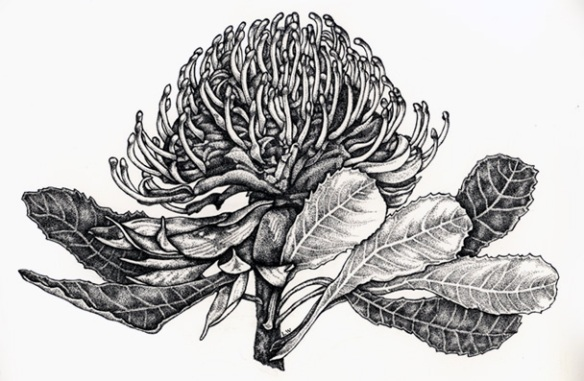 Waratah - Botanical Illustration