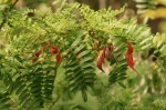 Clianthus puniceus - Kakabeak