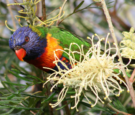 Eastern Rosella 2 - Australian Birds