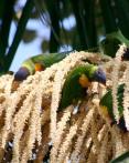 Eastern Rosella 3 - Australian Birds