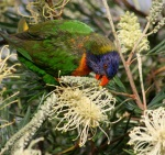 Eastern Rosella 1 - Australian Birds