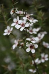 Leptospermum scoparium sp