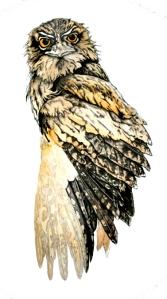 Tawny Frogmouth \'Glare\' Fauna Illustration