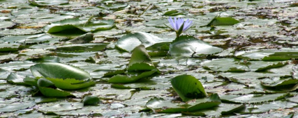 Waterlilly 2
