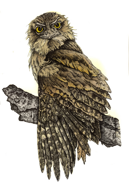 Tawny Frogmouth - Pen & Ink with watercolour - Fauna Illustration