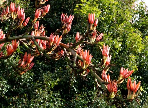 Spear Lily 1 - Australian flora