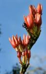 Spear Lily 2 - Australian flora