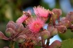 Swamp Bloodwood 3 - Corymbia ptychocarpa