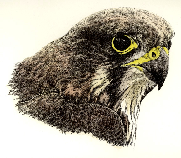 New Zealand Falcon 2 Illustration