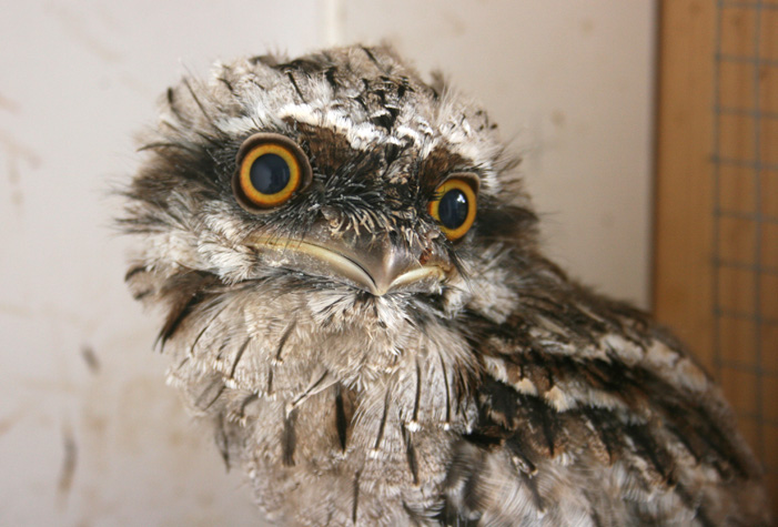 baby-tawny-frogmouth-web-1