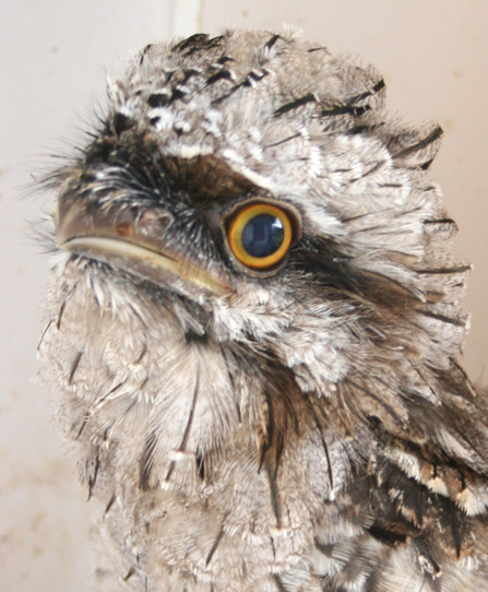 baby-tawny-frogmouth-web1