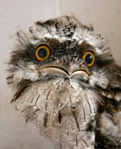 baby-tawny-frogmouth-web2
