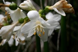 brisbane-lily-3