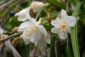 brisbane-lily-4