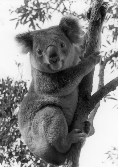 koalabwweb