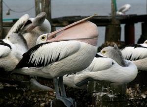 pelican-beakstretch1web