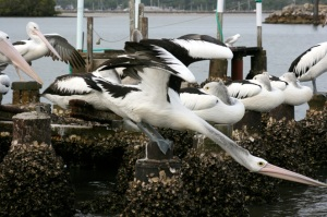 pelican-bodystretchweb