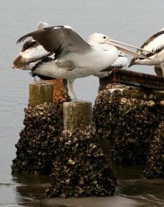 pelican-oneleggedstretchweb