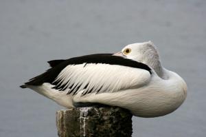 pelican-smallsitweb