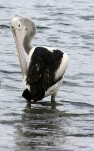 pelican-snakeneckweb