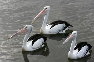 pelican-trioweb