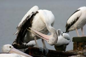 pelican-wingscratchweb