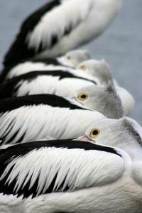 pelicans-allinarowweb