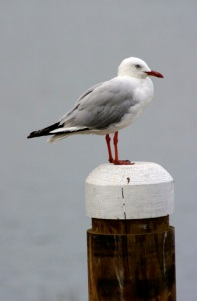 silver-gull-on-postweb1