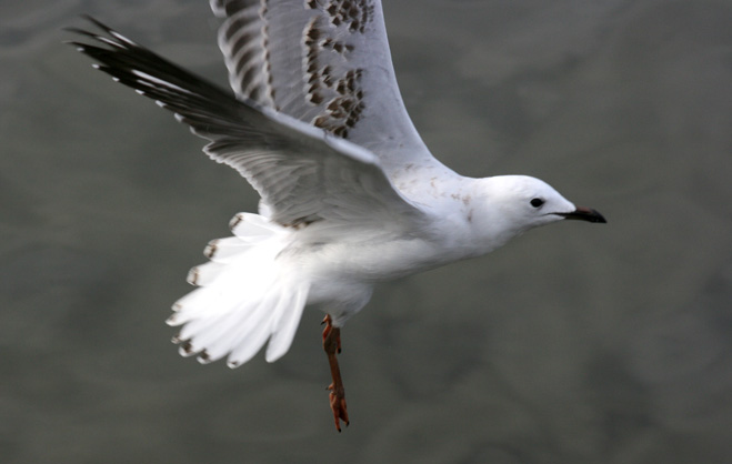 flying animals of seagull birds pictures